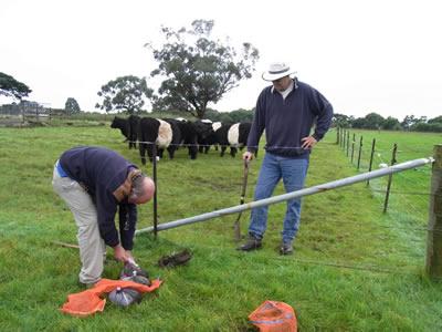 Bernard releasing dung beetles in Victoria
