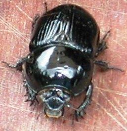 dung beetle G. spiniger