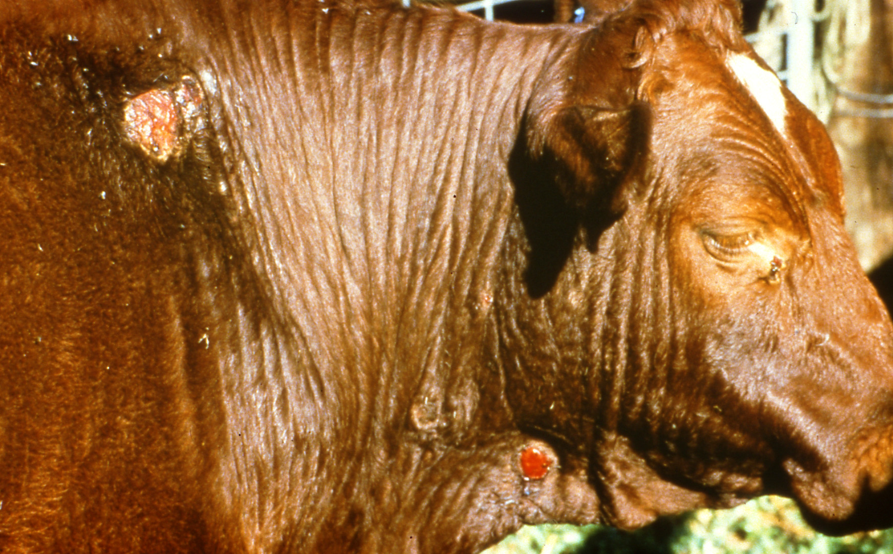 Sores on a cow due to buffalo fly