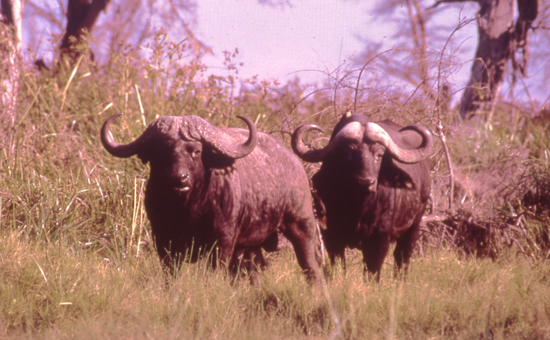 African buffalo fly